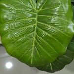 Colocasia esculenta Blatt