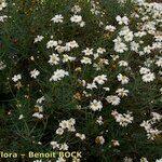 Argyranthemum vicentii