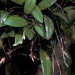 Pleurothallis pruinosa