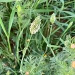 Phalaris minor