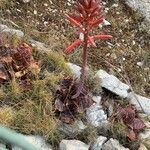 Aloe maculata 葉