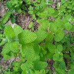 Mentha suaveolens Leaf