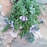 Linaria verticillata