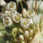 Allium pallens