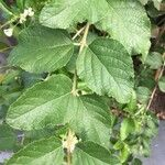Buddleja paniculata Leaf