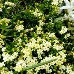 Galium cespitosum