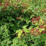 Rubus canadensis