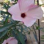 Hibiscus heterophyllus