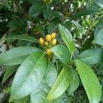 Rudgea citrifolia