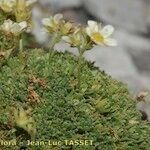 Saxifraga delphinensis