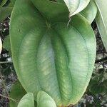 Dioscorea alata Leaf