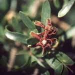 Periploca angustifolia