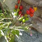 Solanum dulcamara Owoc