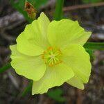 Cienfuegosia yucatanensis