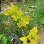 Robinia pseudoacacia Lehti