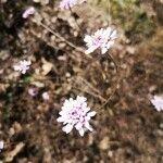 Iberis linifolia Blomst