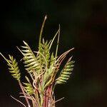 Ctenopsis pectinella
