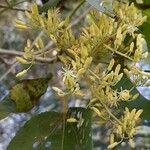 Heliocarpus