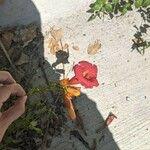 Campsis radicans Flower
