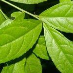 Hybanthus hespericlivus
