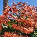 Clerodendrum japonicum