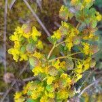 Euphorbia bivonae