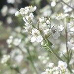 Lepidium latifolium