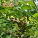 Phyllanthus reticulatus