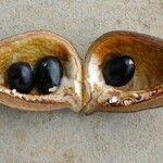Acropogon macrocarpus