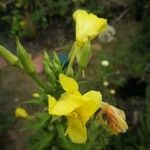 Oenothera biennis Fiore