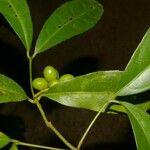 Aristolochia tonduzii