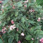 Begonia incarnata