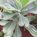 Kleinia amaniensis Leaf