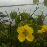 Stigmaphyllon diversifolium