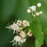 Chromolaena odorata