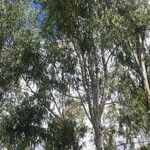 Eucalyptus globulus Feuille
