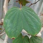 Bauhinia semibifida