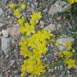 Haplophyllum linifolium