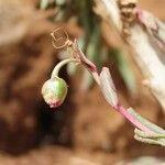 Talinum portulacifolium Fruit