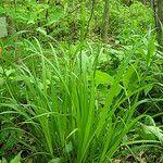 Carex formosa