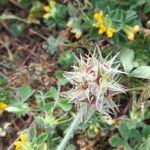 Trifolium stellatum Kvet