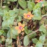 Lysimachia arvensis Kwiat