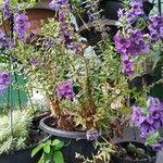 Angelonia angustifolia