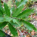 Quercus afares