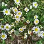 Erigeron annuus Blomst