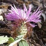 Centaurea pectinata