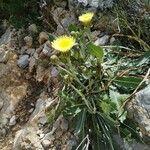 Crepis albida