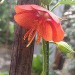 Pentapetes phoenicea