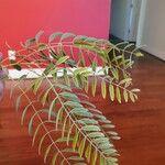 Schinus molle Leaf