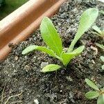 Calendula officinalis Leaf